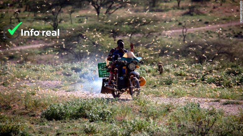 Roiuri de lacuste invadeaza Etiopia